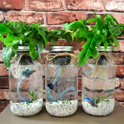 3 Mason Jar Aquaponics with organic lettuce and mint growing